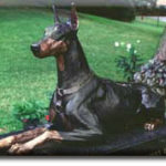 Knoxville, TN War Dog Memorial -Doberman